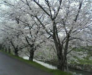 春爛漫、桜並木
